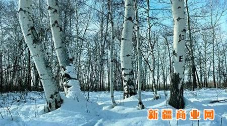 (600x420)      【高清组图】春季到新疆哈巴河县白桦林赏雪景 (900