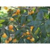 供应柿子树 柿子树价格 3-15公分柿子树价格