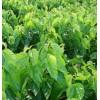 新疆吉发联农农业科技有限公司供应蛋白桑