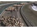 新疆伊犁果子沟23万羊群借道高速公路转场 (4929播放)