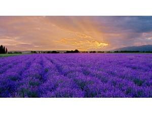 紫色花海——新疆霍城县的薰衣草 (4)