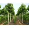 供应五角枫、国槐、龙爪槐、杜梨树、臭椿、丝绵木、皂角树