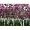 供应火炬树、红叶李、香花槐、白蜡、柳树、栾树、楸树、刺槐